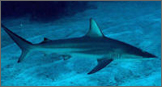 Donations Blacktip Shark