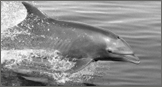 Donations Bottlenose Dolphin