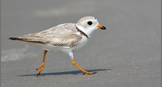 Donations Piping Plover